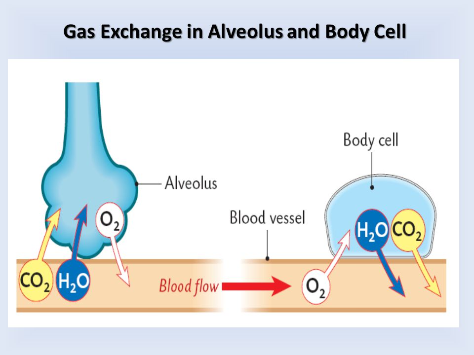 Gas Exchange in Alveolus and Body Cell