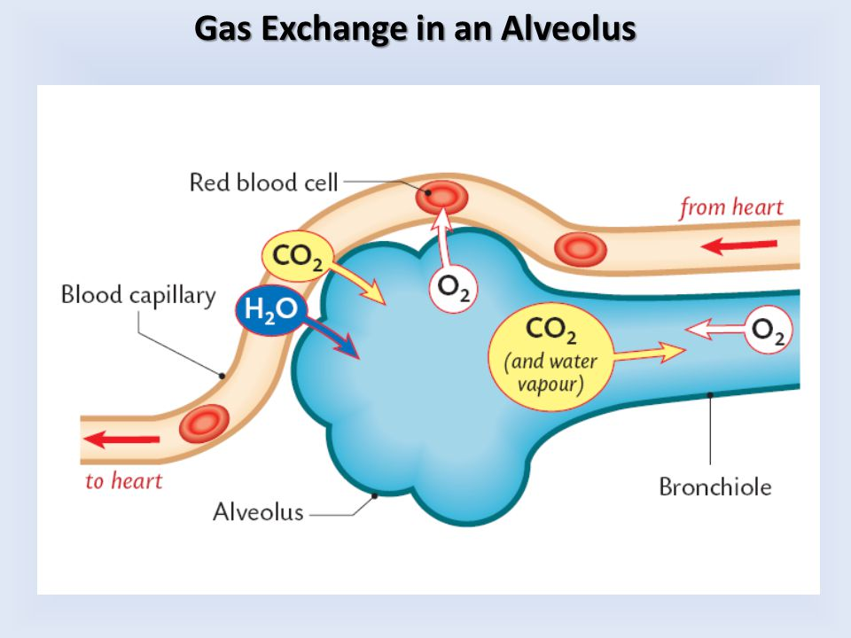 Gas Exchange in an Alveolus