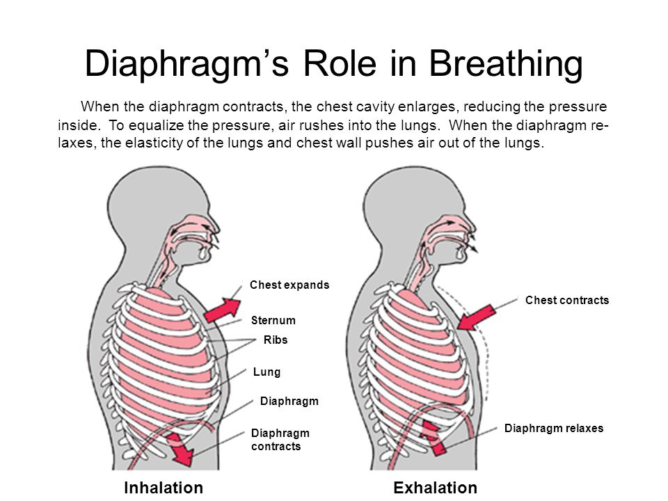 Diaphragm's Role in Breathing When the diaphragm contracts, the chest cavity enlarges, reducing the pressure inside. To equalize the pressure, air rus
