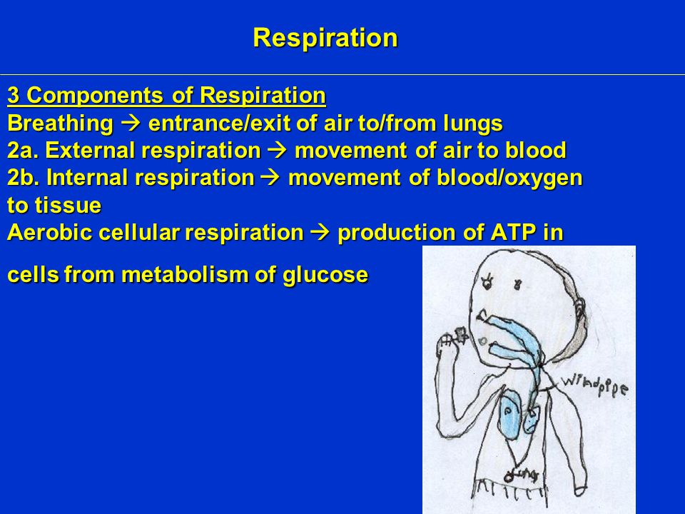 3 Components of Respiration Breathing  entrance/exit of air to/from lungs 2a.