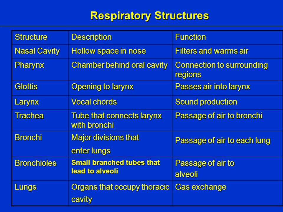 Respiratory Structures StructureDescriptionFunction Nasal Cavity Hollow space in nose Filters and warms air Pharynx Chamber behind oral cavity Connection to surrounding regions Glottis Opening to larynx Passes air into larynx Larynx Vocal chords Sound production Trachea Tube that connects larynx with bronchi Passage of air to bronchi Bronchi Major divisions that enter lungs Passage of air to each lung Bronchioles Small branched tubes that lead to alveoli Passage of air to alveoli Lungs Organs that occupy thoracic cavity Gas exchange