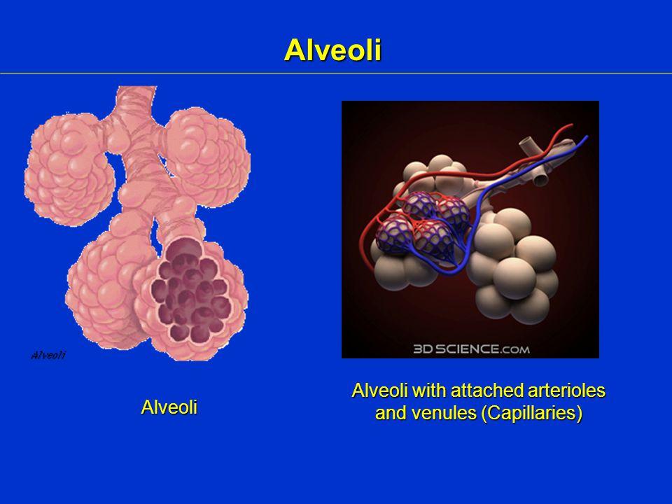 Alveoli Alveoli Alveoli with attached arterioles and venules (Capillaries)