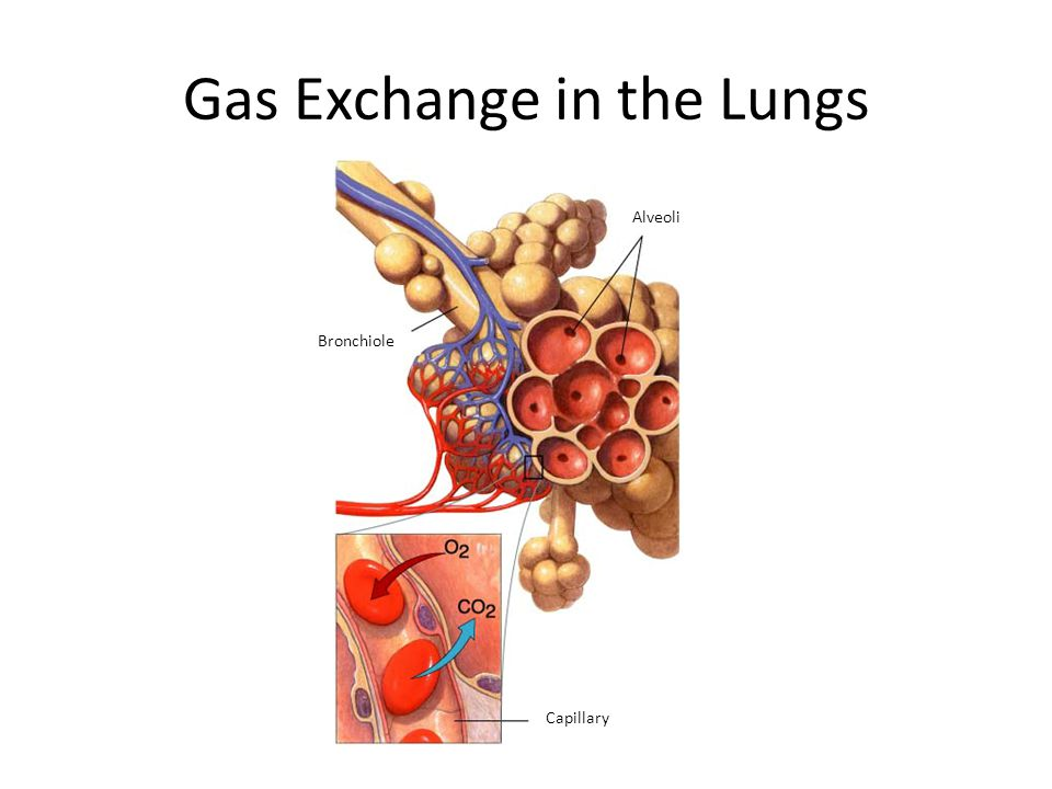 Alveoli Bronchiole Capillary Section 37-3 Figure 37-15 Gas Exchange in the Lungs Gas Exchange in the Lungs