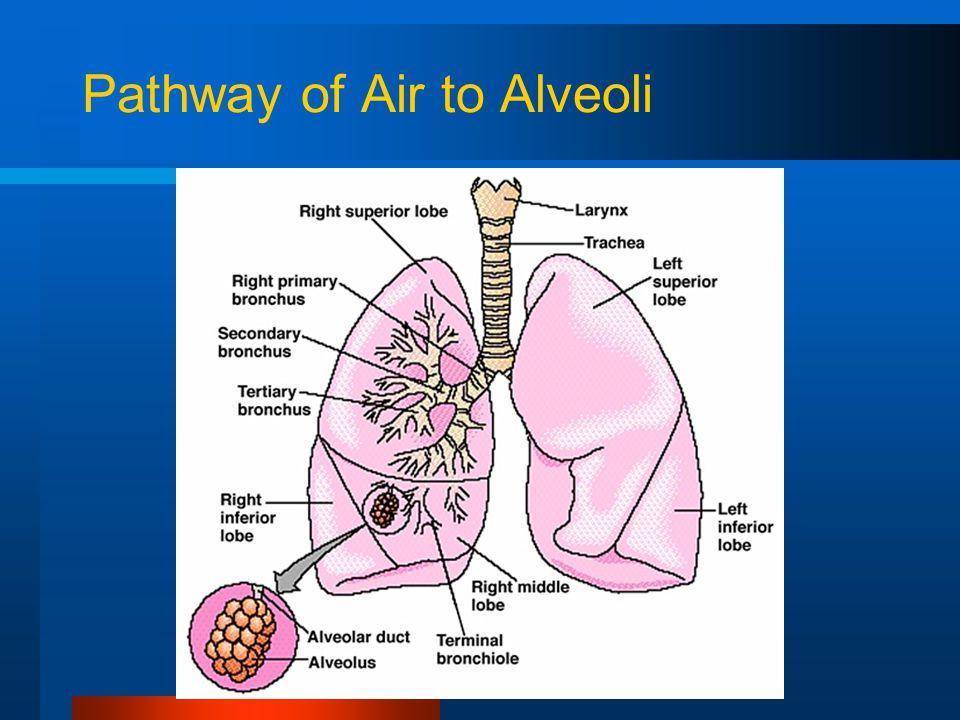 Pathway of Air to Alveoli