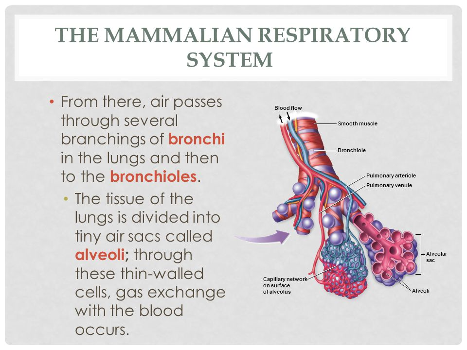 THE MAMMALIAN RESPIRATORY SYSTEM From there, air passes through several branchings of bronchi in the lungs and then to the bronchioles. The tissue of