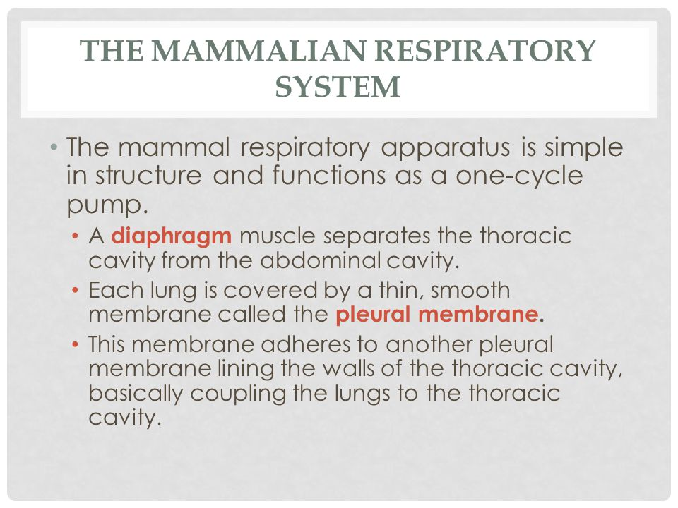 THE MAMMALIAN RESPIRATORY SYSTEM The mammal respiratory apparatus is simple in structure and functions as a one-cycle pump. A diaphragm muscle separat