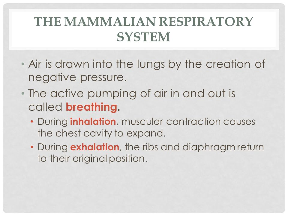 THE MAMMALIAN RESPIRATORY SYSTEM Air is drawn into the lungs by the creation of negative pressure. The active pumping of air in and out is called brea