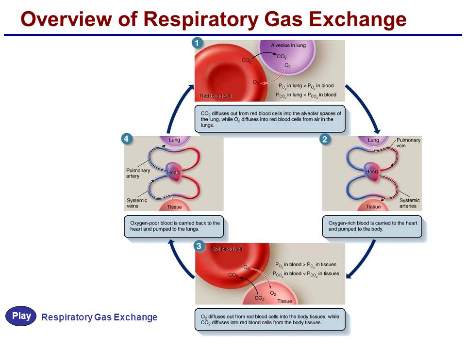 Overview of Respiratory Gas Exchange Play Respiratory Gas Exchange