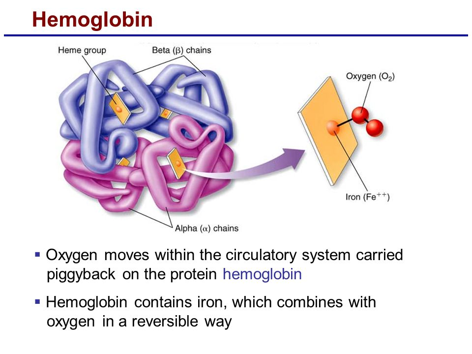 Hemoglobin  Oxygen moves within the circulatory system carried piggyback on the protein hemoglobin  Hemoglobin contains iron, which combines with ox