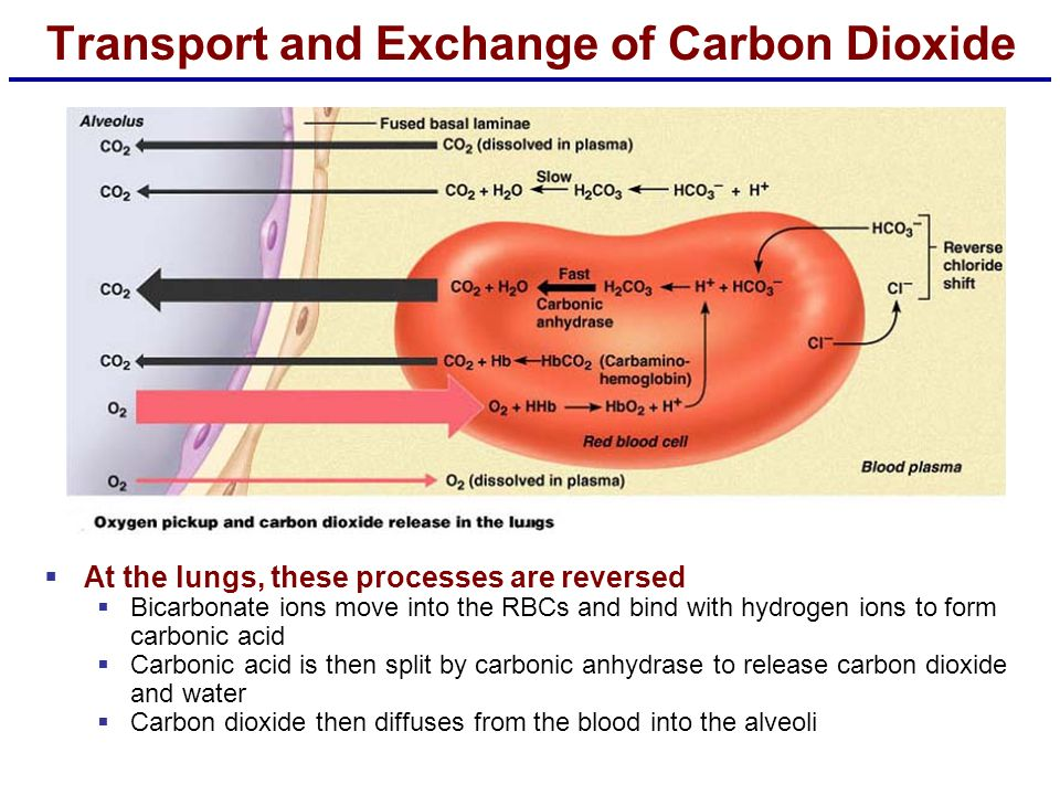Transport and Exchange of Carbon Dioxide  At the lungs, these processes are reversed  Bicarbonate ions move into the RBCs and bind with hydrogen ion