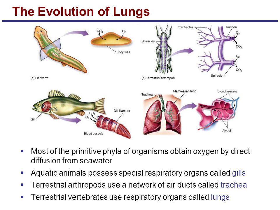 The Evolution of Lungs  Most of the primitive phyla of organisms obtain oxygen by direct diffusion from seawater  Aquatic animals possess special re