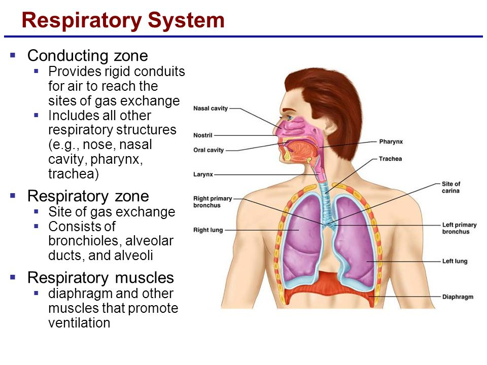 Respiratory System  Conducting zone  Provides rigid conduits for air to reach the sites of gas exchange  Includes all other respiratory structures