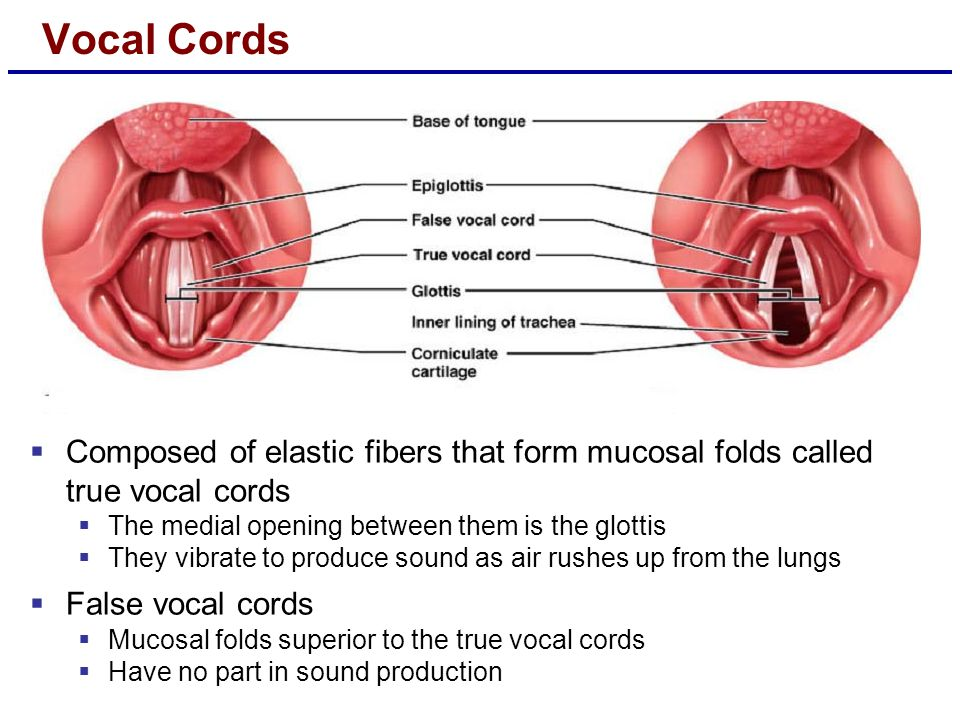 Vocal Cords  Composed of elastic fibers that form mucosal folds called true vocal cords  The medial opening between them is the glottis  They vibra