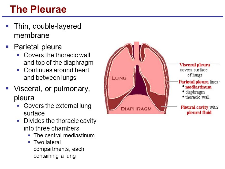 The Pleurae  Thin, double-layered membrane  Parietal pleura  Covers the thoracic wall and top of the diaphragm  Continues around heart and between