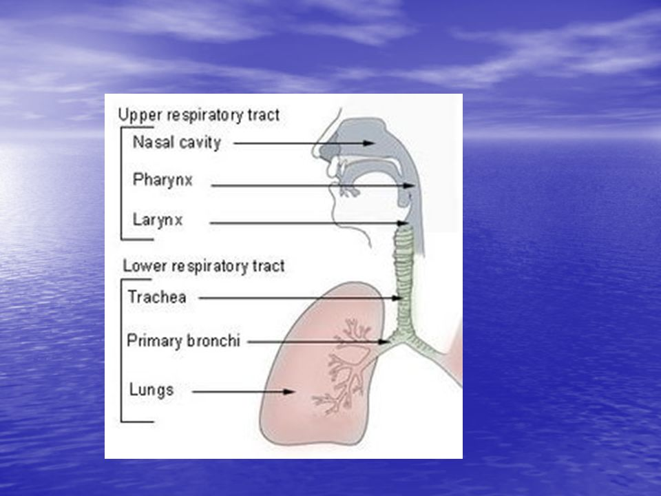 Trachea  bronchi  bronchioles.  Bronchioles become narrow during an asthma attack.