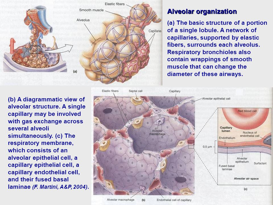 Alveolar organization (a) The basic structure of a portion of a single lobule.