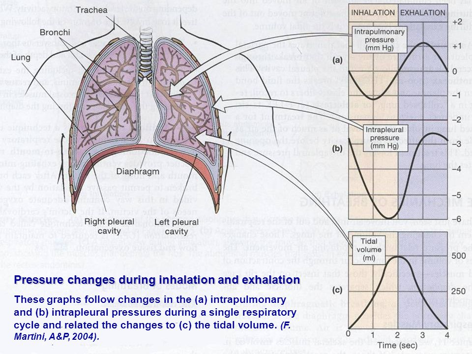 Pressure changes during inhalation and exhalation These graphs follow changes in the (a) intrapulmonary and (b) intrapleural pressures during a single respiratory cycle and related the changes to (c) the tidal volume.