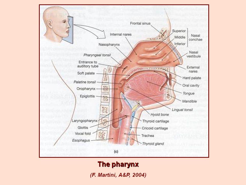 The pharynx (F. Martini, A&P, 2004)