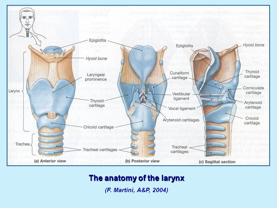 The anatomy of the larynx (F. Martini, A&P, 2004)