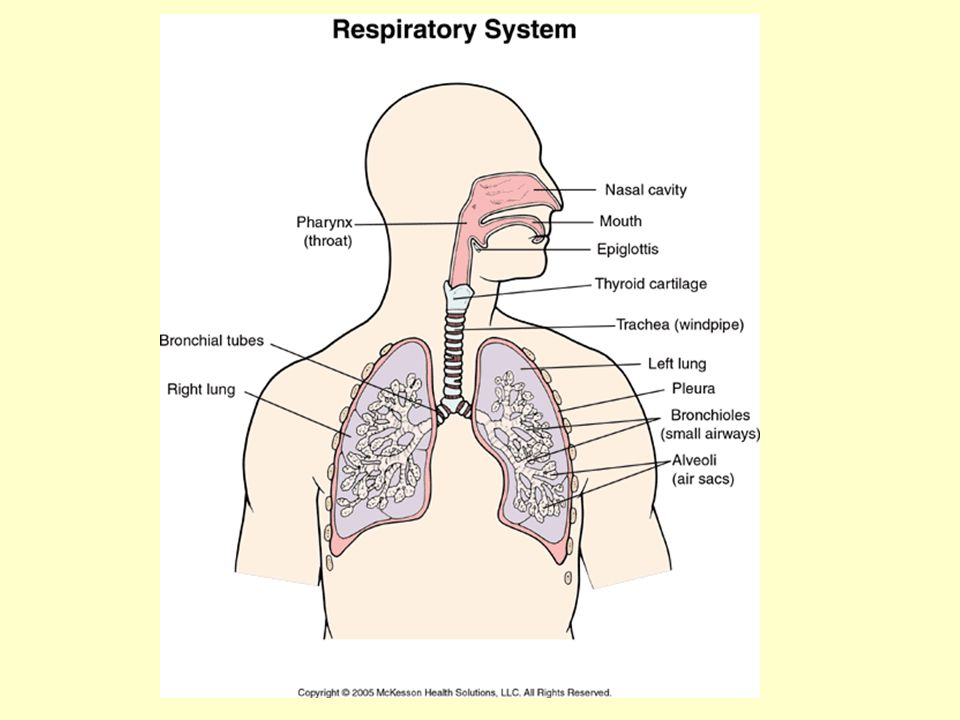 Respiratory Structures -Nose: contains small hairs that filter particulates.