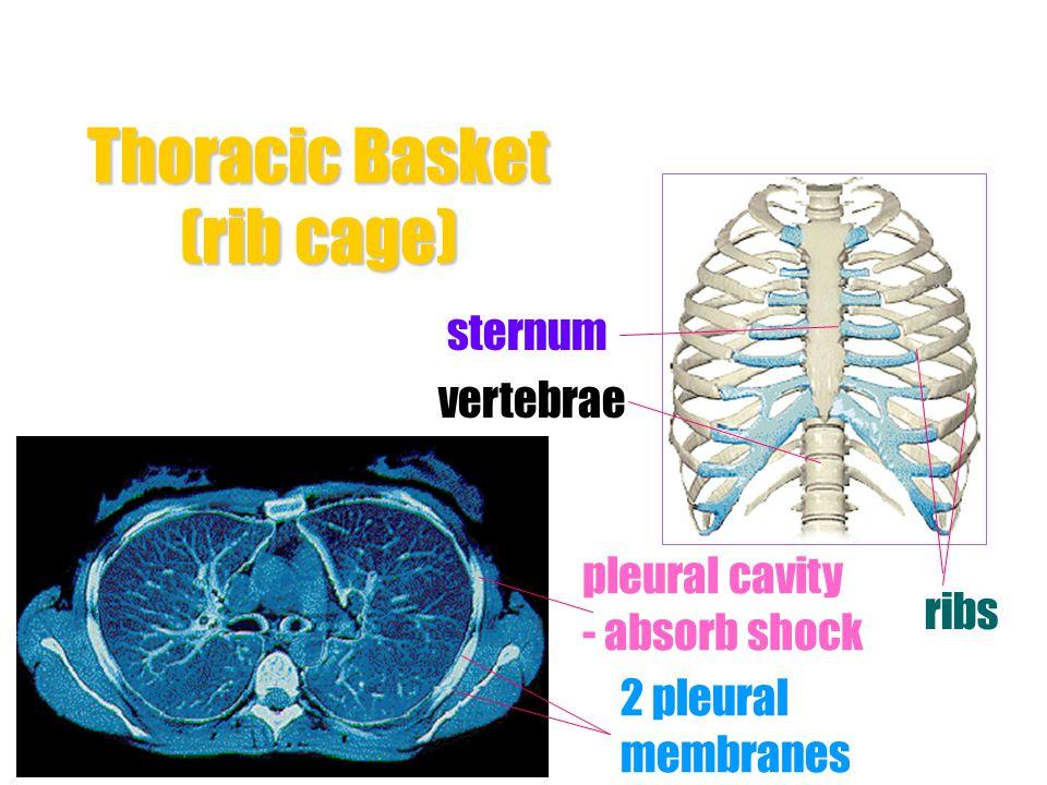 rib pleural membranes alveoli pleural fluid Intercostal muscles bronchiole larynx trachea - have ring of cartilage left lung left bronchus heart diaph