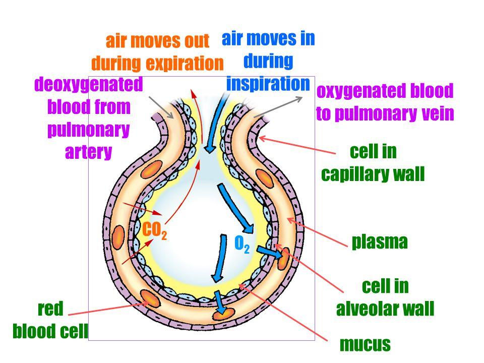 Heart Deoxygenated blood Oxygenated blood Lung Pulmonary artery Pulmonary vein Tissue Gaseous Exchange in Alveoli