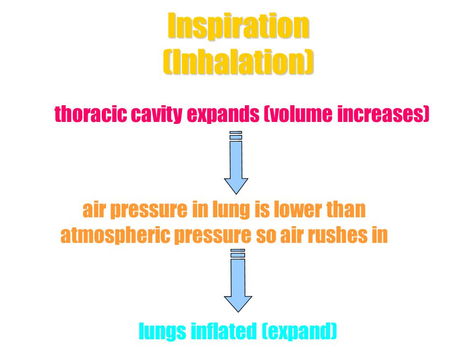Inspiration (Inhalation) Diaphragm muscle - contract Intercostal muscle - contract Diaphragm - flattened ribs & sternum - move upward & outward