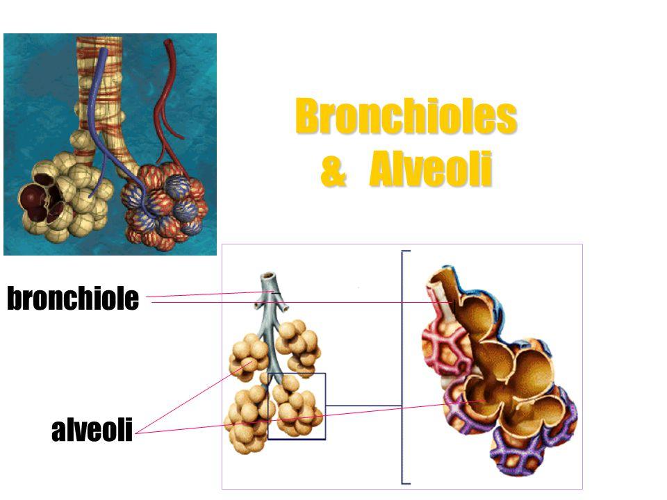 Respiratory System trachea bronchus (bronchi) bronchioles