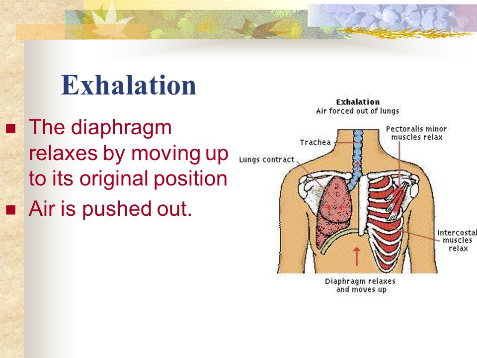 Exhalation The diaphragm relaxes by moving up to its original position Air is pushed out.