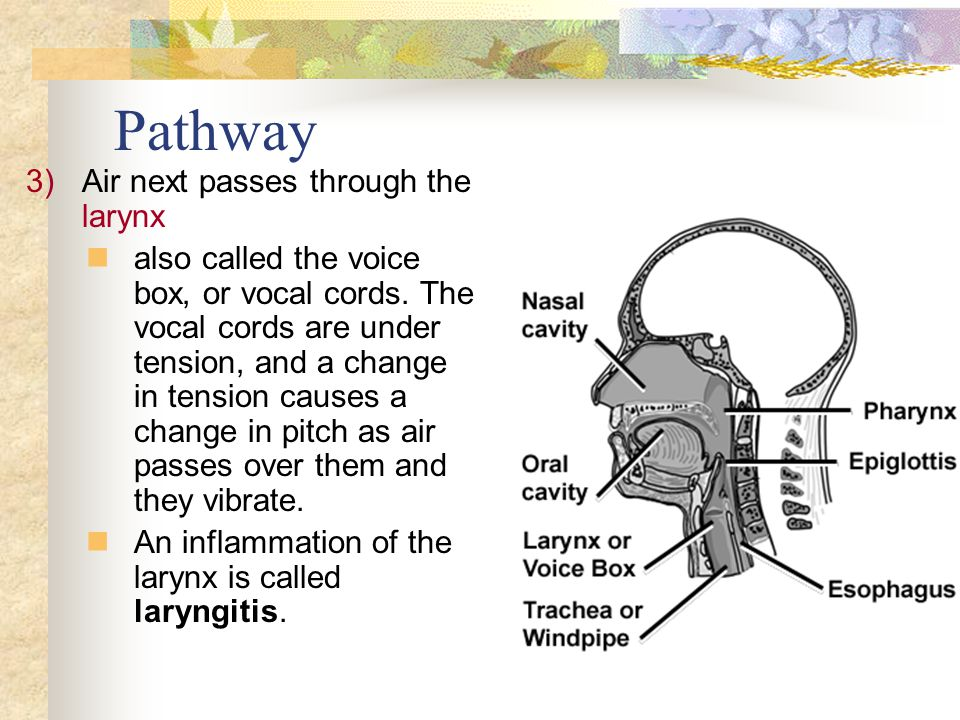 3)Air next passes through the larynx also called the voice box, or vocal cords.