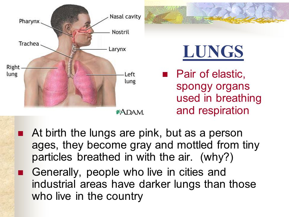 LUNGS At birth the lungs are pink, but as a person ages, they become gray and mottled from tiny particles breathed in with the air. (why?) Generally,