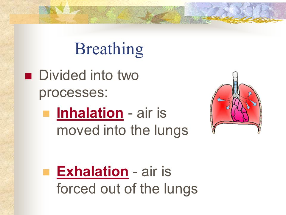 Breathing Divided into two processes: Inhalation - air is moved into the lungs Exhalation - air is forced out of the lungs