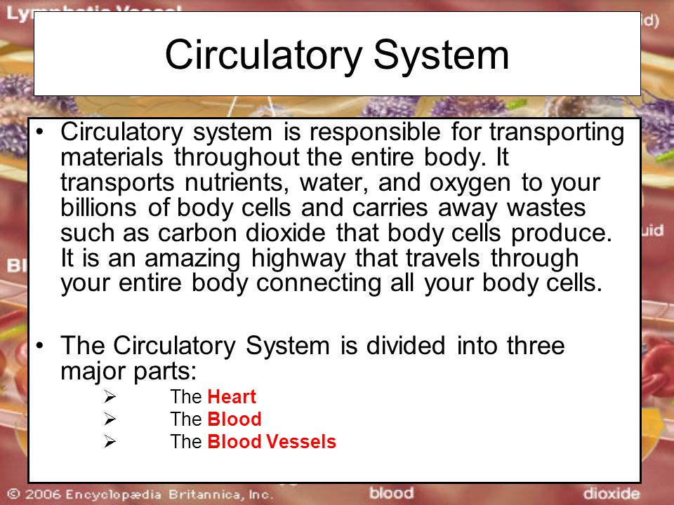 Circulatory System Circulatory system is responsible for transporting materials throughout the entire body.
