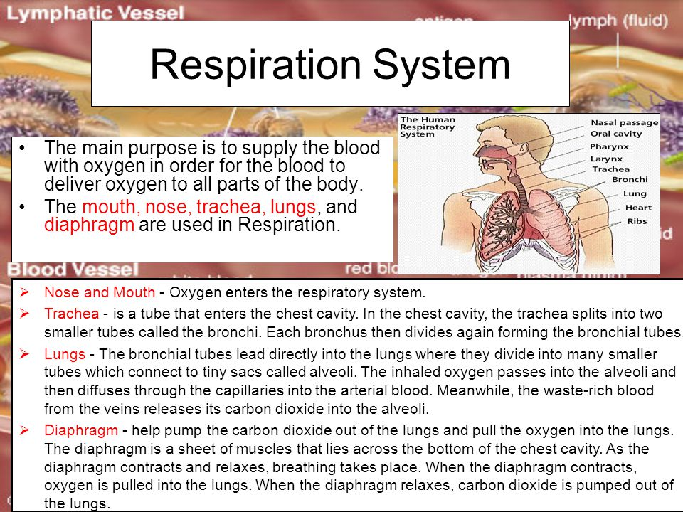 Respiration System The main purpose is to supply the blood with oxygen in order for the blood to deliver oxygen to all parts of the body. The mouth, n