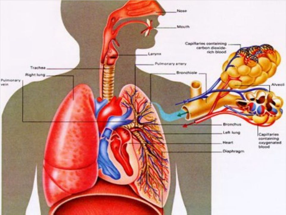 Process of Breathing Definition - breathing is a mechanical process where gases are exchanged between the lungs and the atmosphere.