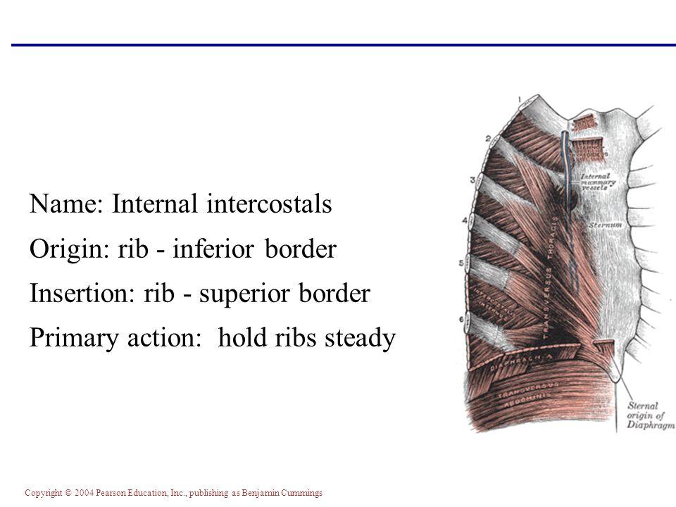 Copyright © 2004 Pearson Education, Inc., publishing as Benjamin Cummings Name: Internal intercostals Origin: rib - inferior border Insertion: rib - s