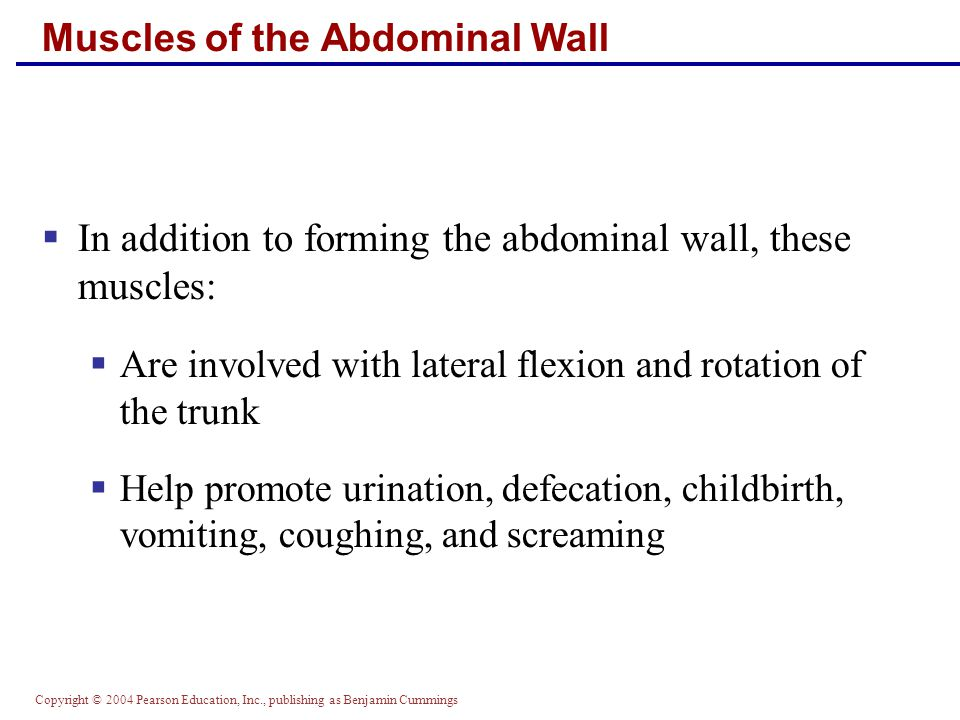 Copyright © 2004 Pearson Education, Inc., publishing as Benjamin Cummings Muscles of the Abdominal Wall  In addition to forming the abdominal wall, t