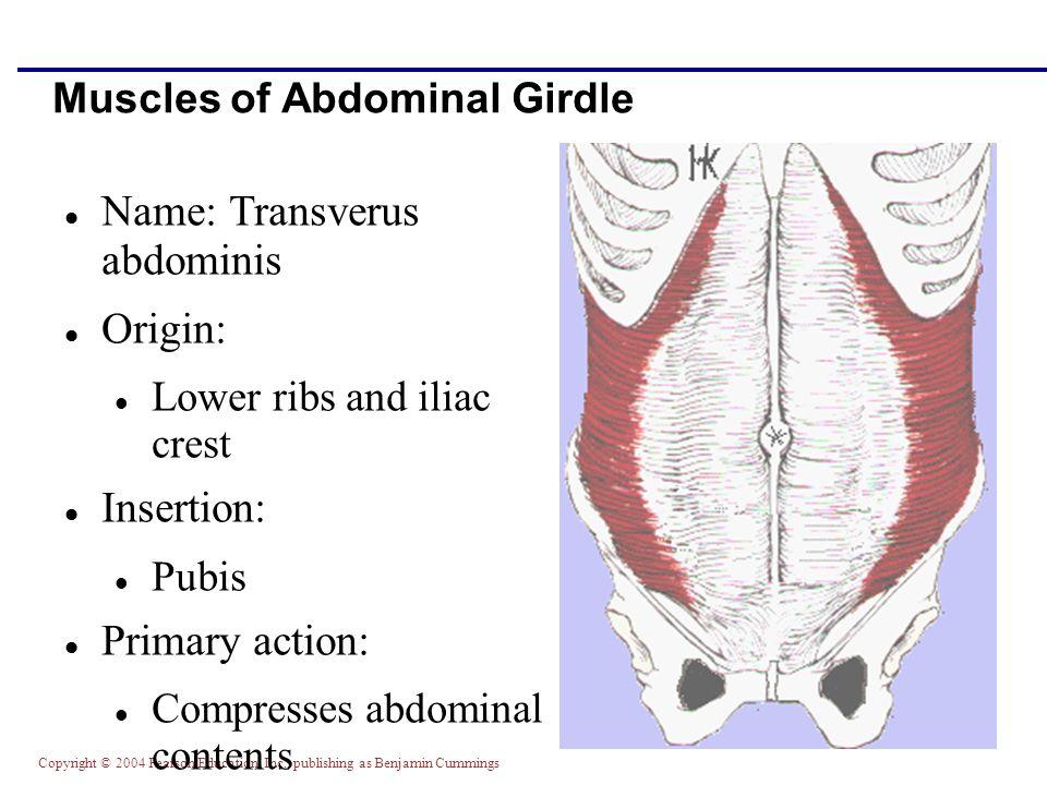 Copyright © 2004 Pearson Education, Inc., publishing as Benjamin Cummings Muscles of Abdominal Girdle Name: Transverus abdominis Origin: Lower ribs an