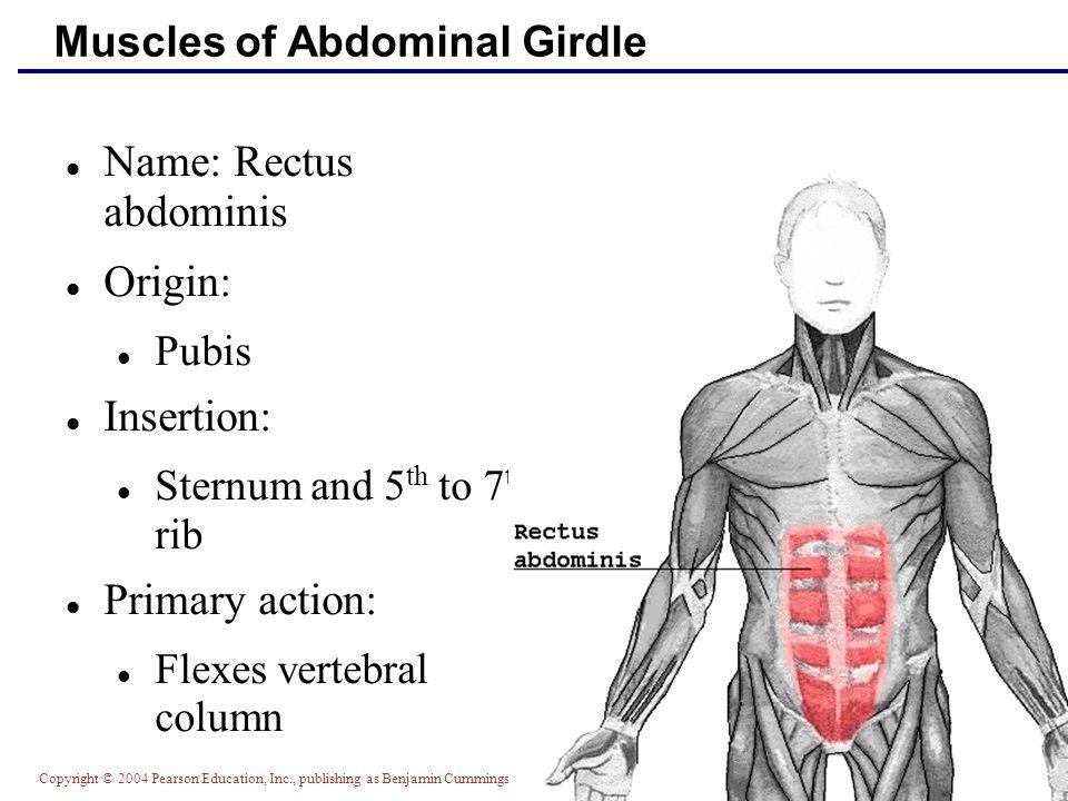 Copyright © 2004 Pearson Education, Inc., publishing as Benjamin Cummings Muscles of Abdominal Girdle Name: Rectus abdominis Origin: Pubis Insertion: