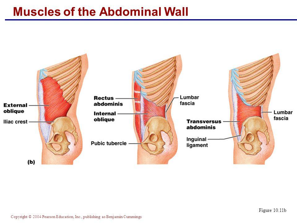 Copyright © 2004 Pearson Education, Inc., publishing as Benjamin Cummings Muscles of the Abdominal Wall Figure 10.11b