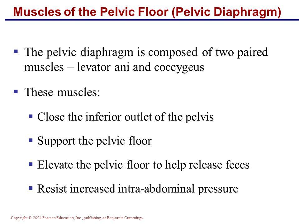 Copyright © 2004 Pearson Education, Inc., publishing as Benjamin Cummings Muscles of the Pelvic Floor (Pelvic Diaphragm)  The pelvic diaphragm is com