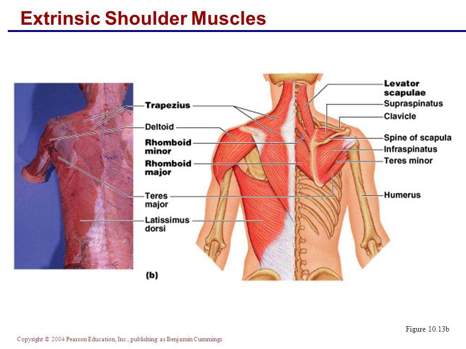 Copyright © 2004 Pearson Education, Inc., publishing as Benjamin Cummings Extrinsic Shoulder Muscles Figure 10.13b