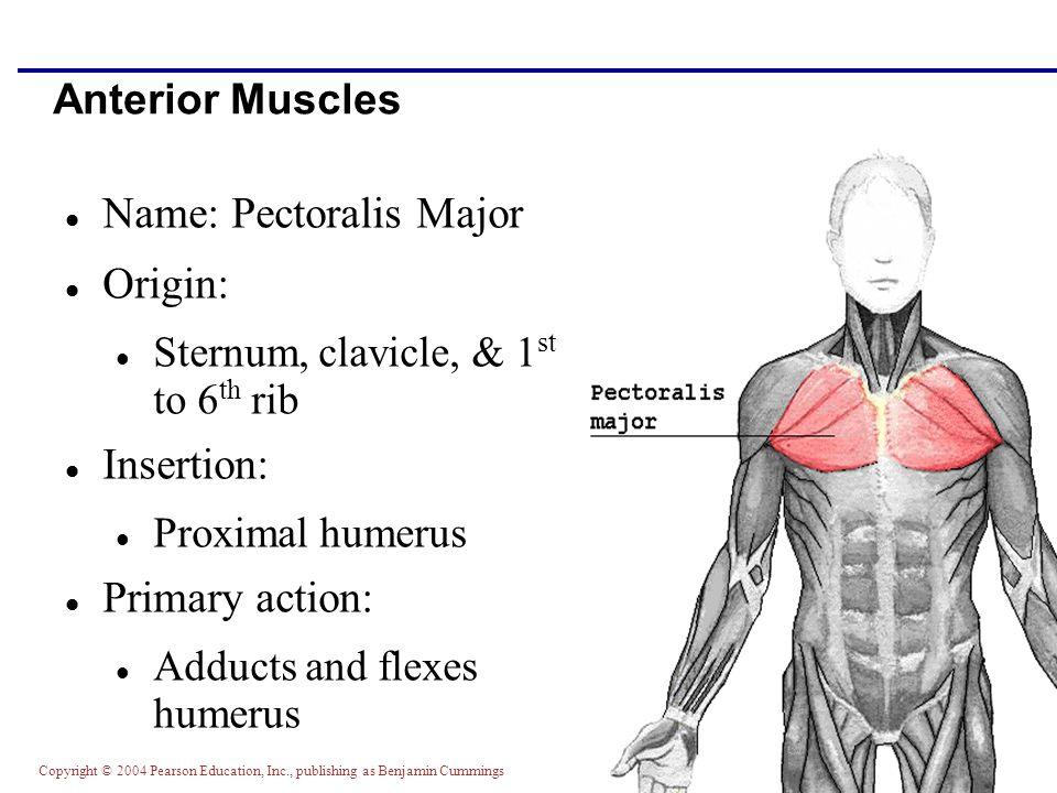 Copyright © 2004 Pearson Education, Inc., publishing as Benjamin Cummings Anterior Muscles Name: Pectoralis Major Origin: Sternum, clavicle, & 1 st to