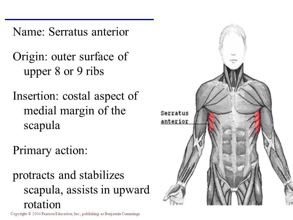Copyright © 2004 Pearson Education, Inc., publishing as Benjamin Cummings Name: Serratus anterior Origin: outer surface of upper 8 or 9 ribs Insertion