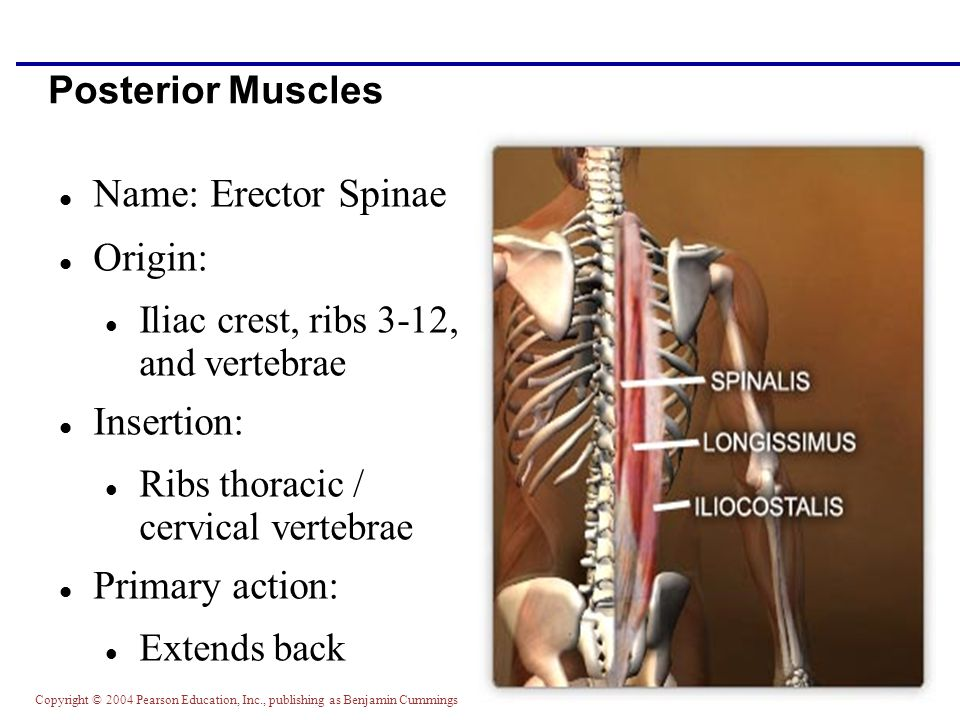 Copyright © 2004 Pearson Education, Inc., publishing as Benjamin Cummings Posterior Muscles Name: Erector Spinae Origin: Iliac crest, ribs 3-12, and v
