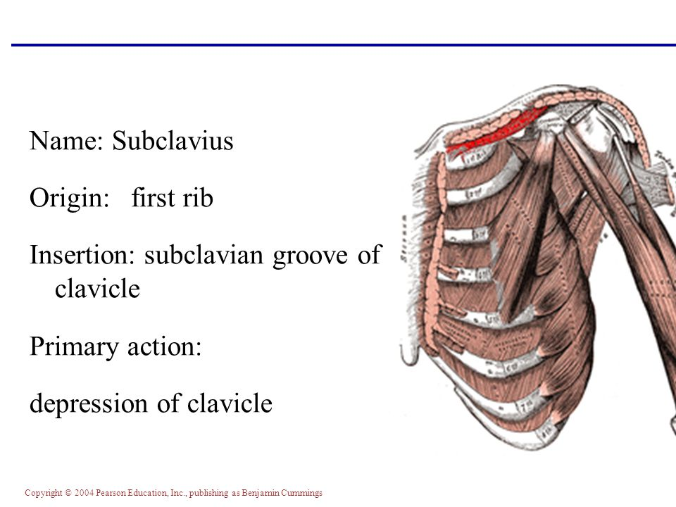 Copyright © 2004 Pearson Education, Inc., publishing as Benjamin Cummings Name: Subclavius Origin: first rib Insertion: subclavian groove of clavicle