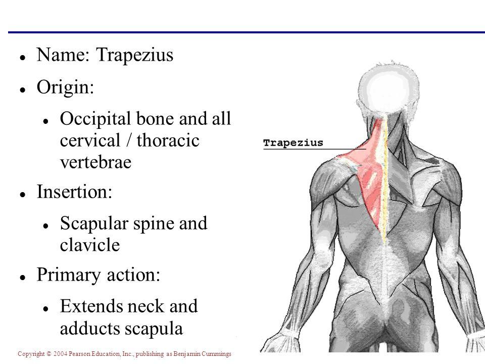Copyright © 2004 Pearson Education, Inc., publishing as Benjamin Cummings Name: Trapezius Origin: Occipital bone and all cervical / thoracic vertebrae