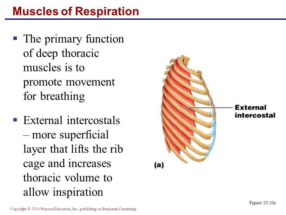 Copyright © 2004 Pearson Education, Inc., publishing as Benjamin Cummings Muscles of Respiration  The primary function of deep thoracic muscles is to