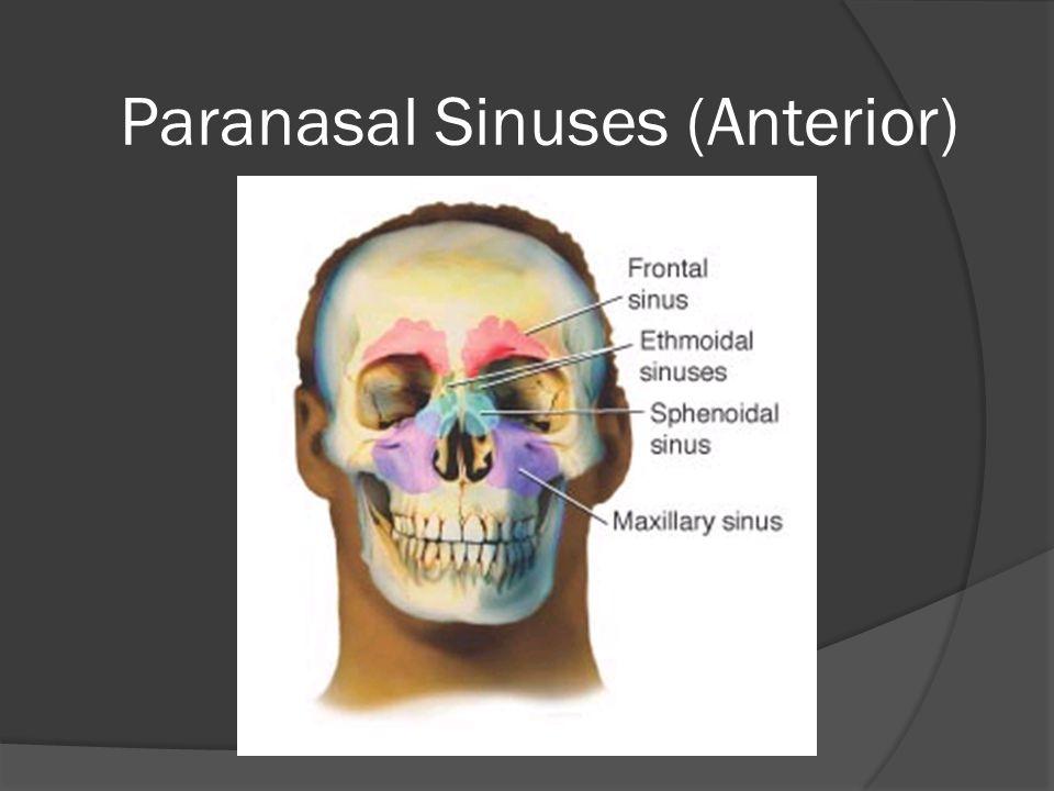 Paranasal Sinuses (Lateral)