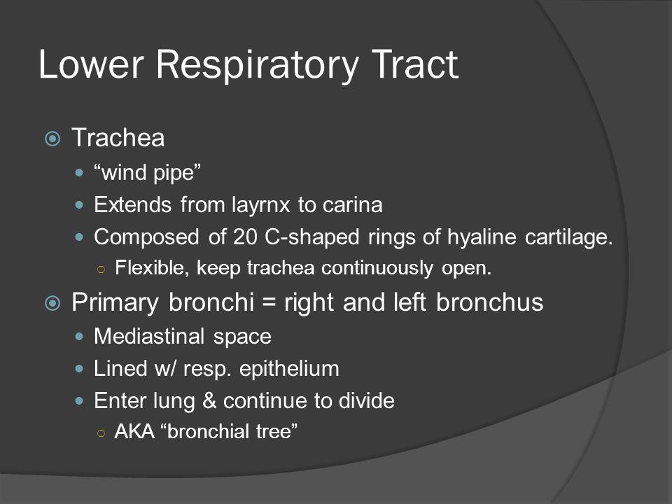 Trachea & Bronchi